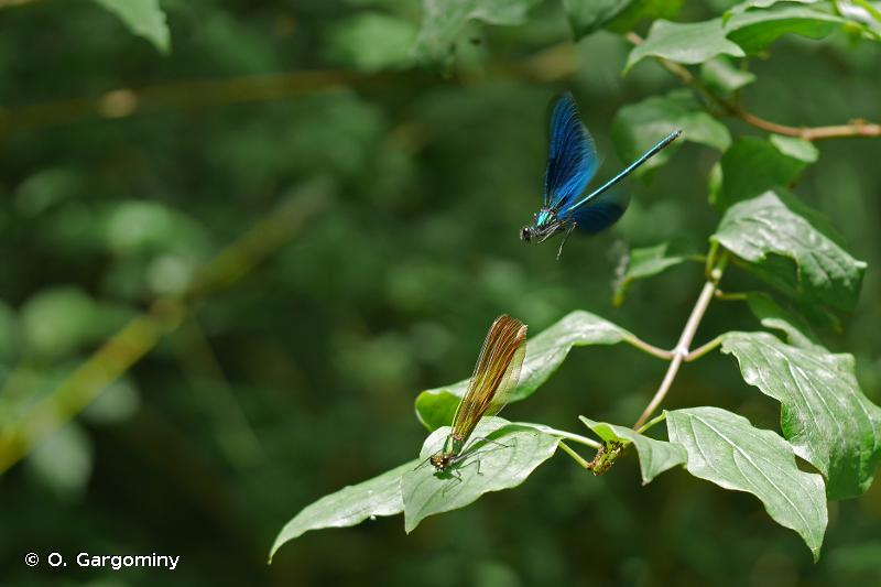 Calopteryx virgo virgo