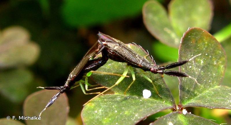 Heterotoma planicornis