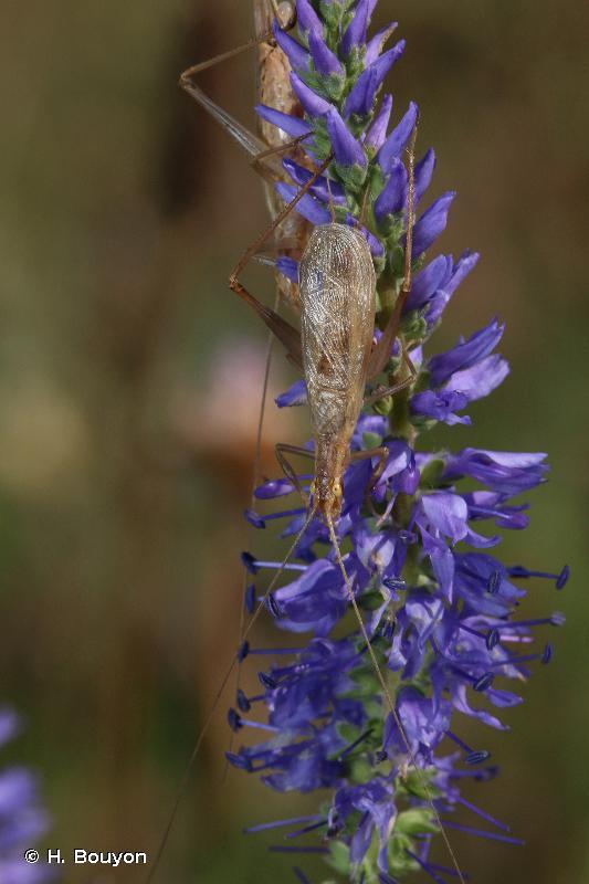 Oecanthus pellucens