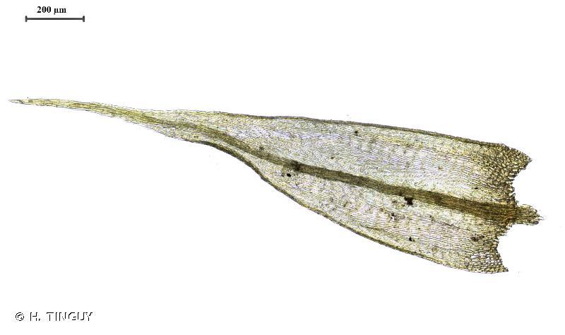 Sciuro-hypnum populeum