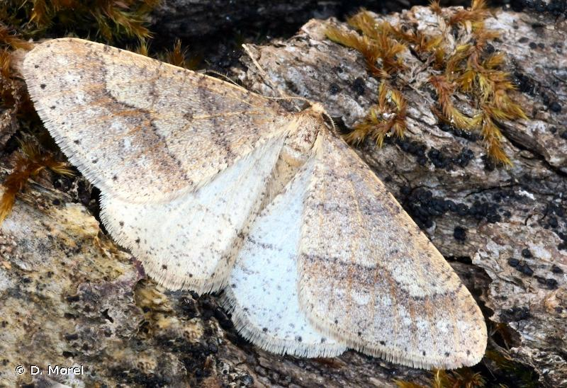 Phigaliohybernia marginaria