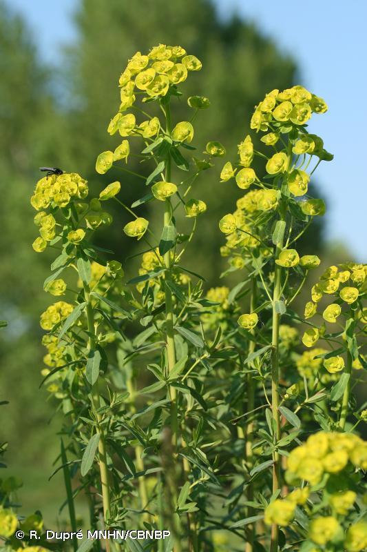 Euphorbia esula subsp. esula