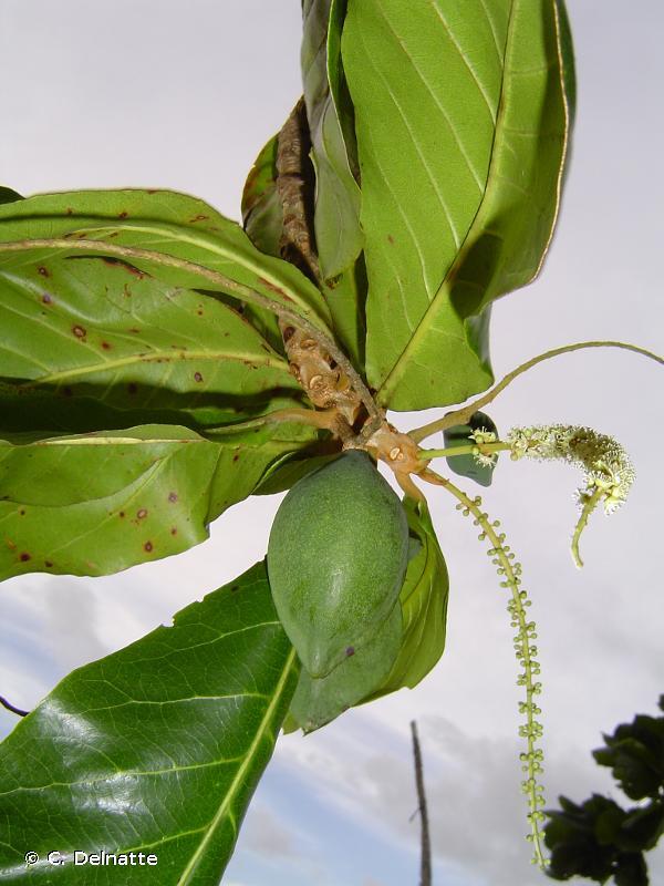 Terminalia catappa