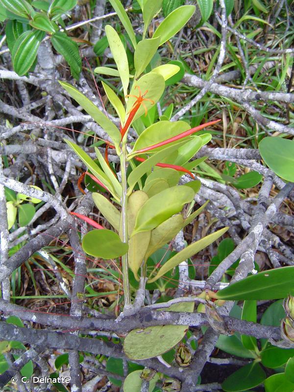 Psittacanthus redactus