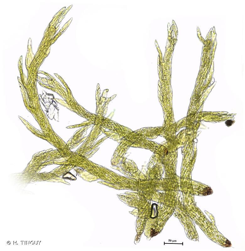 Pseudotaxiphyllum elegans