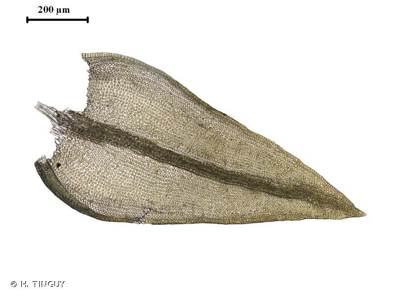 Didymodon luridus