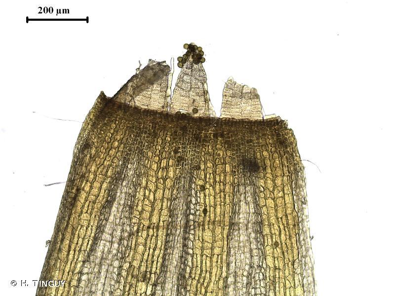 Orthotrichum tenellum