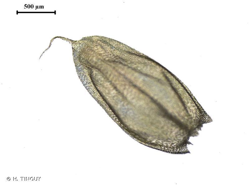 Brachythecium cirrosum