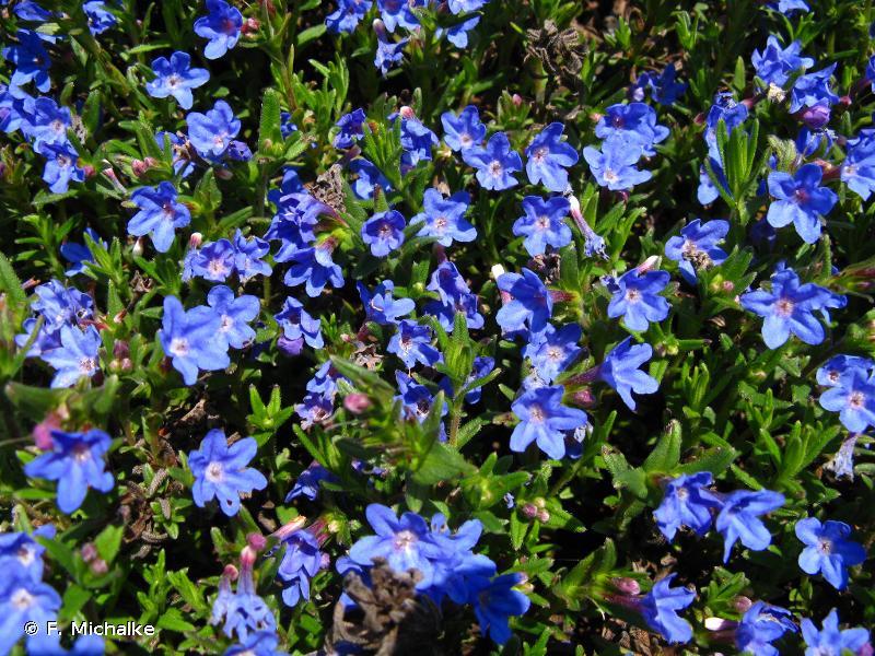 Glandora prostrata subsp. prostrata