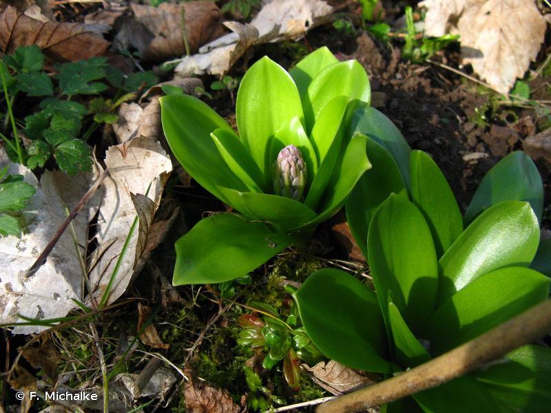 Tractema lilio-hyacinthus