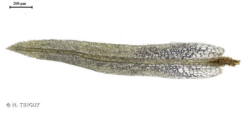 Rhabdoweisia crispata