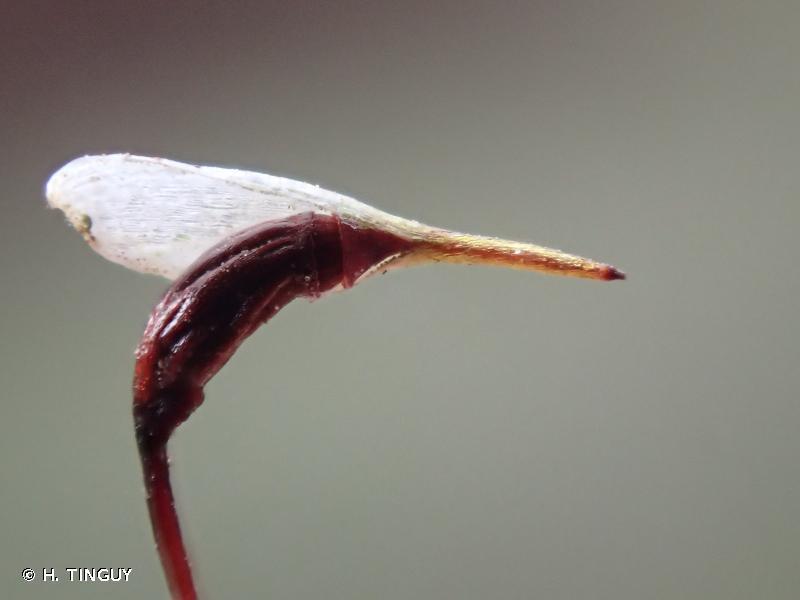 Leucobryum glaucum