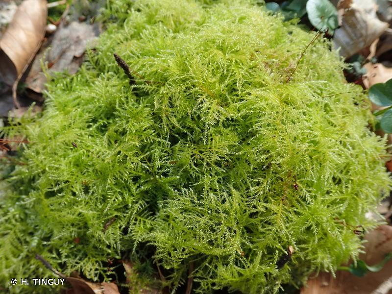 Kindbergia praelonga
