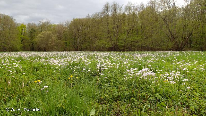 <em>Junco acutiflori - Angelicetum sylvestris</em> Botineau <em>et al.</em> 1985 - Prodrome des végétations de France décliné (PVF2)