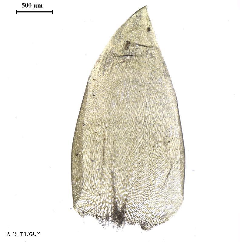Plagiothecium undulatum