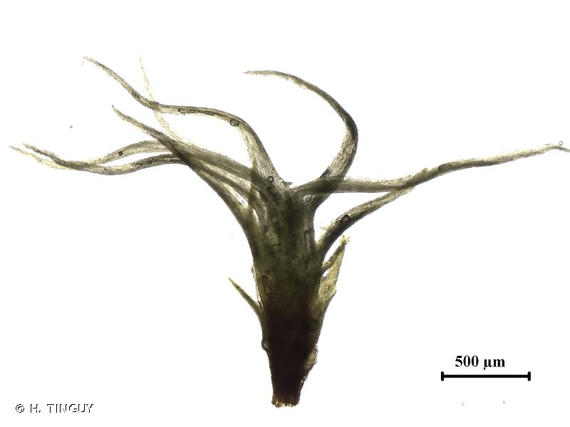 Dicranella cerviculata