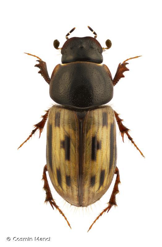Chilothorax melanostictus