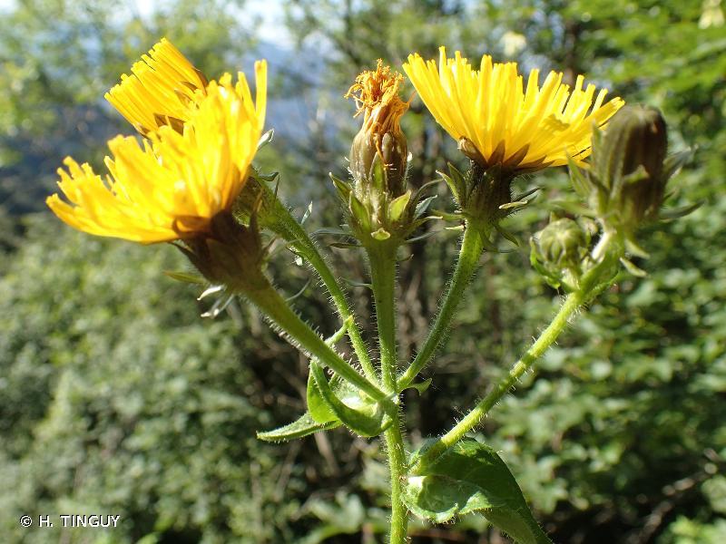 Picris hieracioides subsp. umbellata
