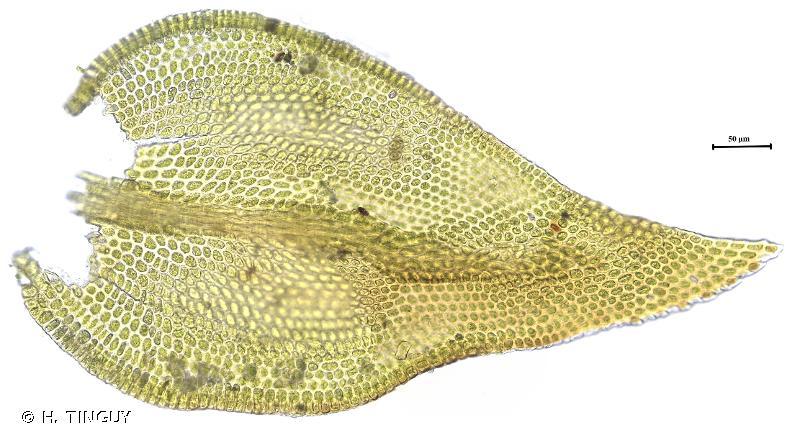Pseudoleskeella catenulata