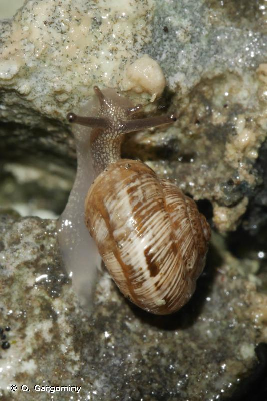 Xerocrassa pallaresica