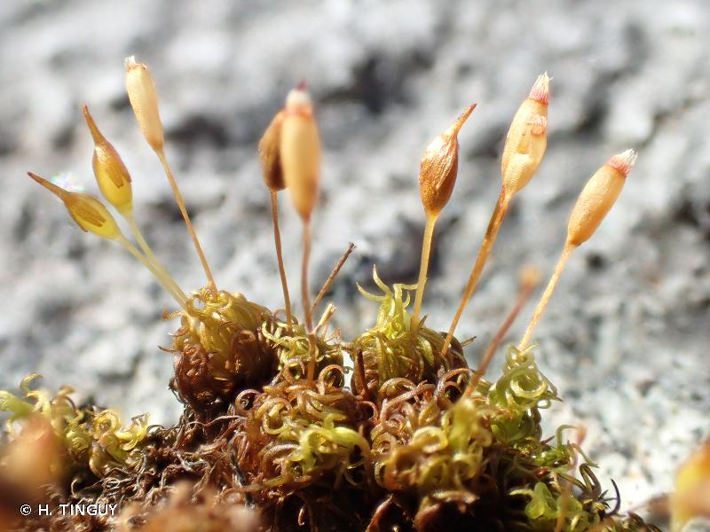 Ptychomitrium polyphyllum
