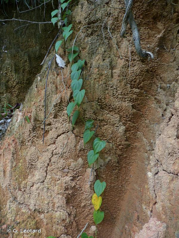 Dioscorea chondrocarpa