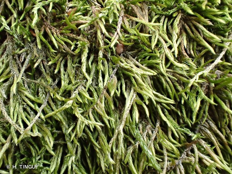 Brachythecium geheebii