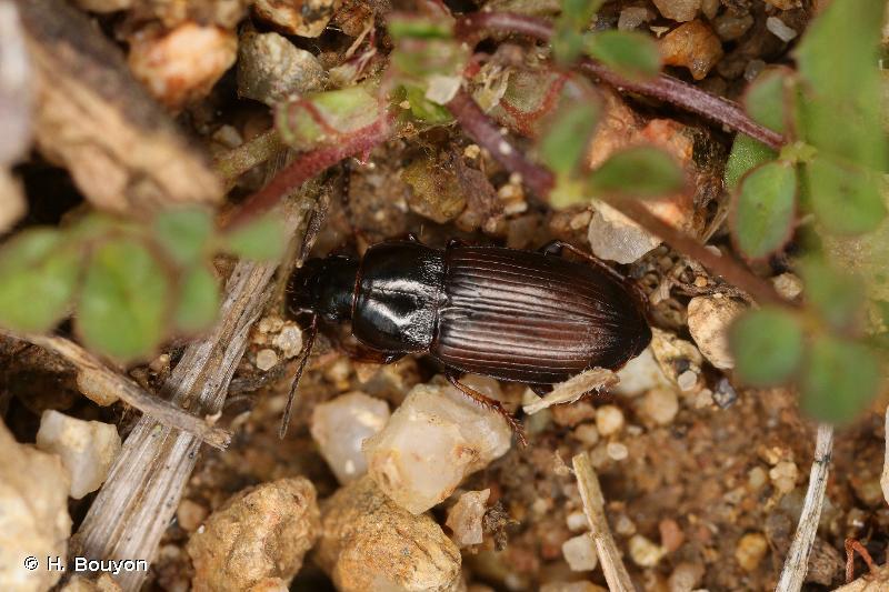 Harpalus pygmaeus