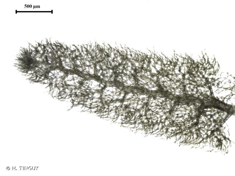 Trichocolea tomentella