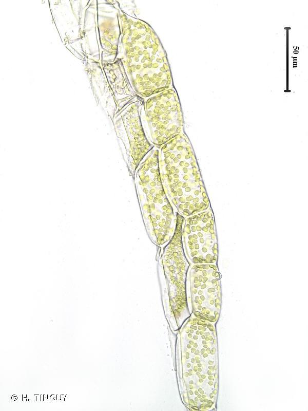 Plagiothecium nemorale