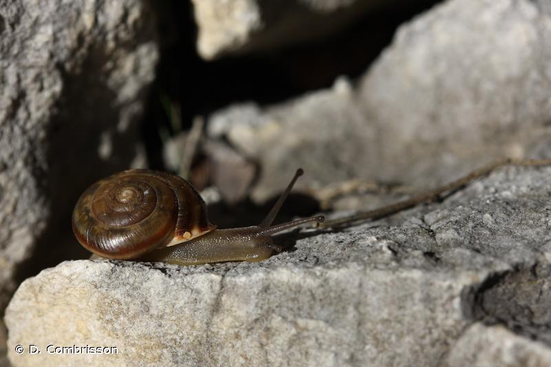 Corneola squamatina