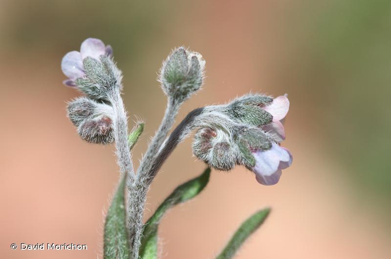 Cynoglossum dioscoridis