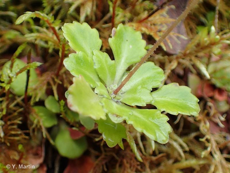 Saxifraga cuneifolia subsp. robusta