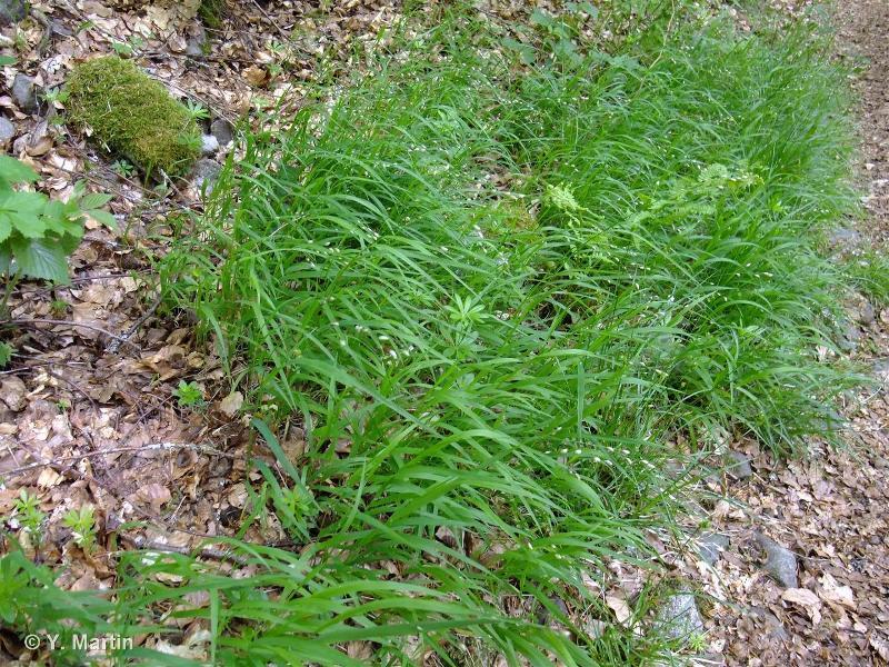 Melica uniflora