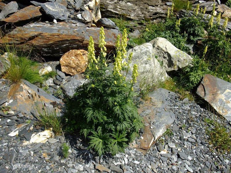 Aconitum lycoctonum subsp. neapolitanum