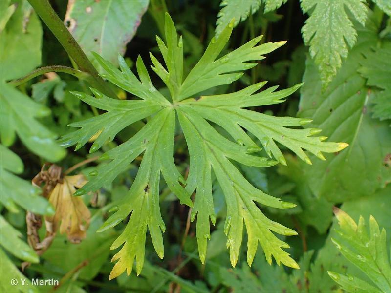 Aconitum variegatum subsp. paniculatum
