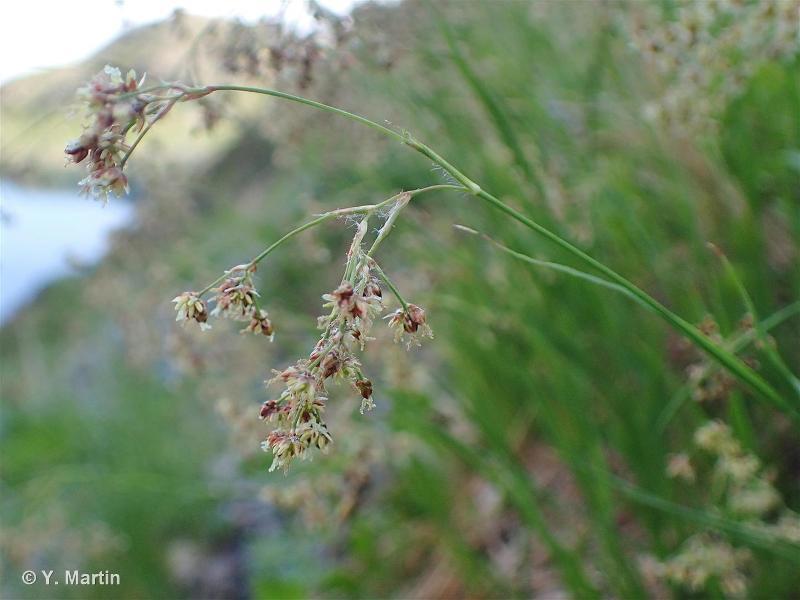 Luzula alpinopilosa
