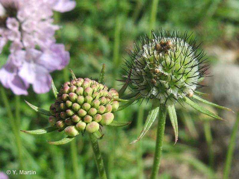 Scabiosa lucida subsp. lucida