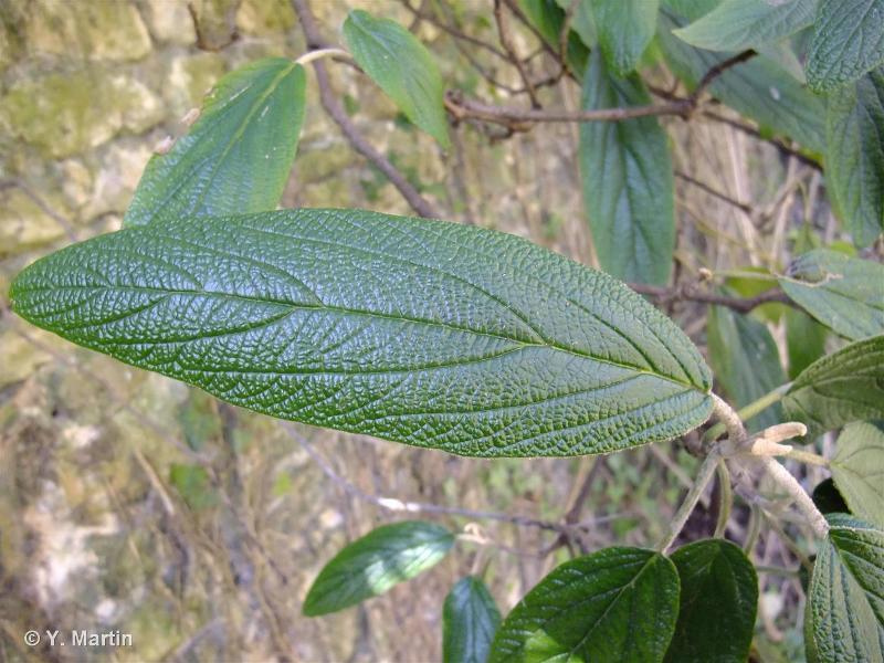 Viburnum rhytidophyllum