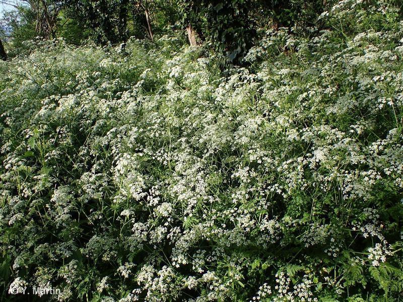 Anthriscus sylvestris subsp. sylvestris