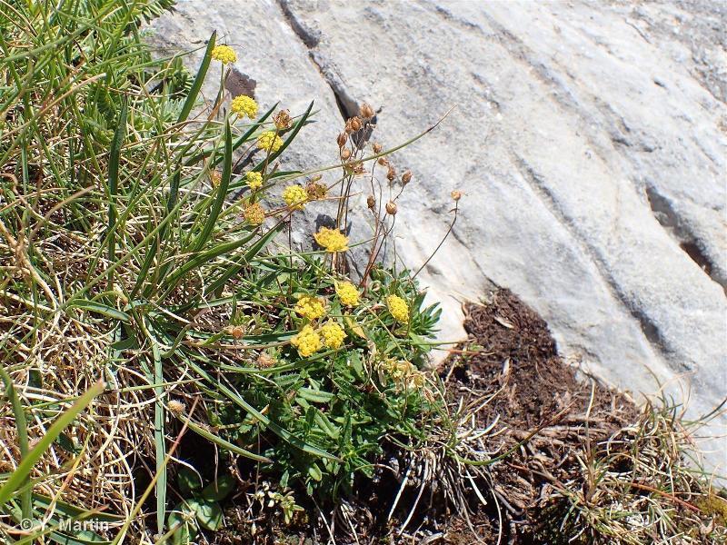 Bupleurum ranunculoides subsp. ranunculoides
