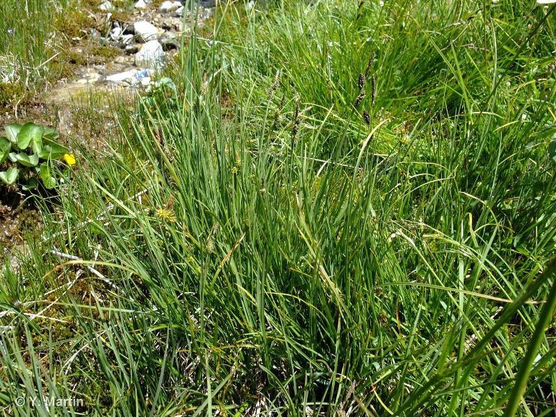 Carex nigra