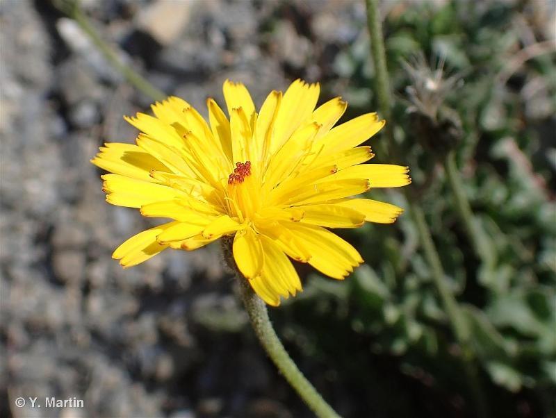 Leontodon hispidus
