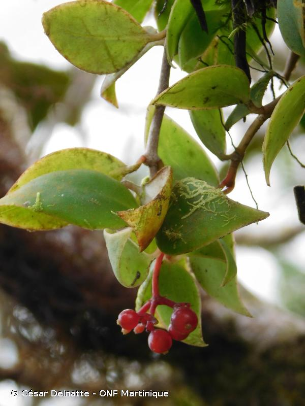 Notopleura parasitica
