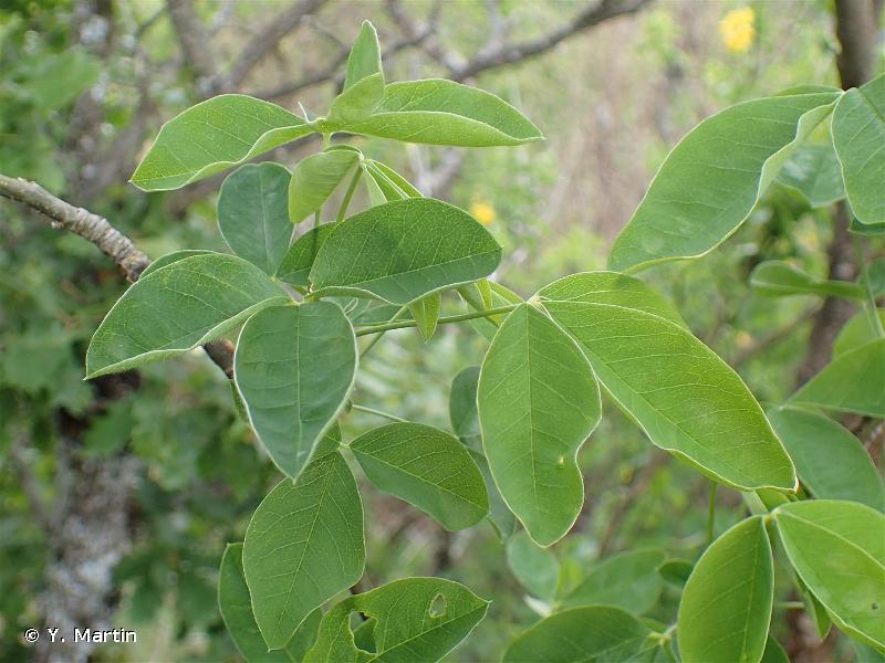 Laburnum anagyroides