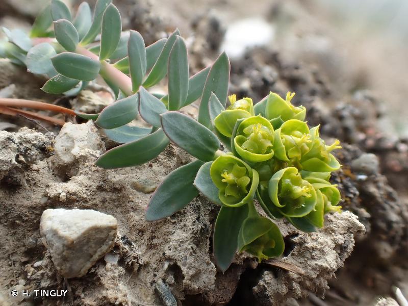 Euphorbia seguieriana subsp. loiseleurii