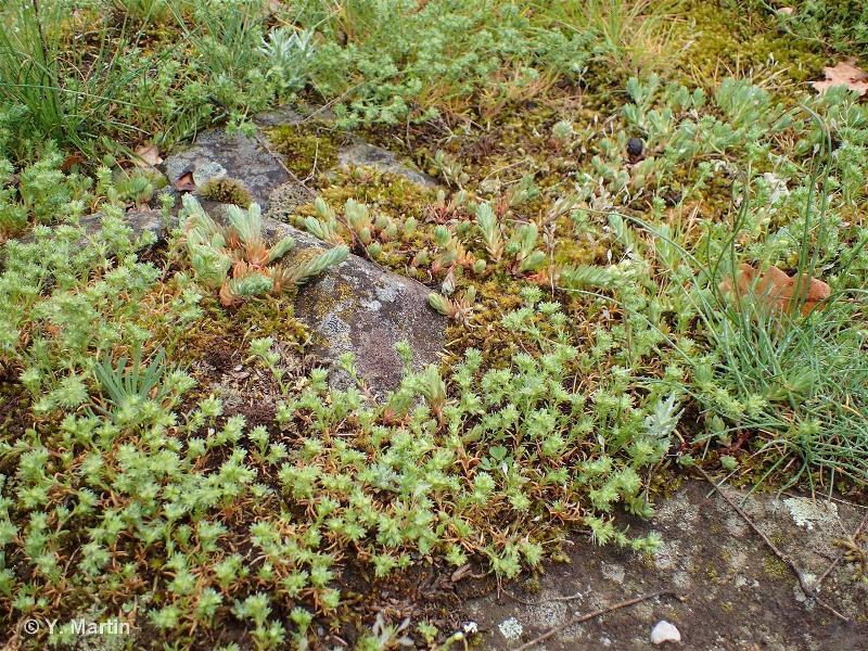 34.114 - Communautés thérophytiques médio-européennes sur débris rocheux - CORINE biotopes