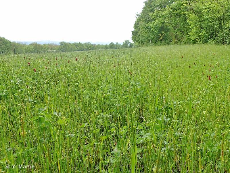 81.1 - Prairies sèches améliorées - CORINE biotopes