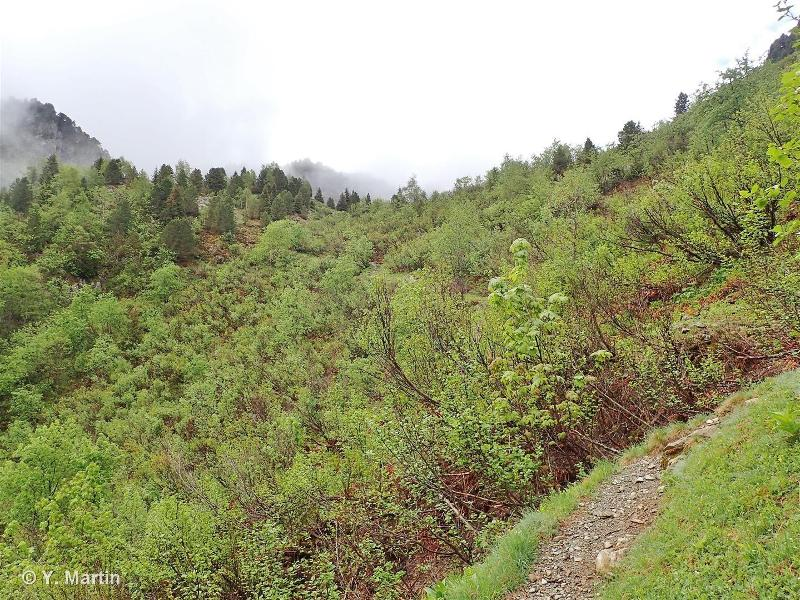 31.61 - Broussailles d'Aulnes verts - CORINE biotopes