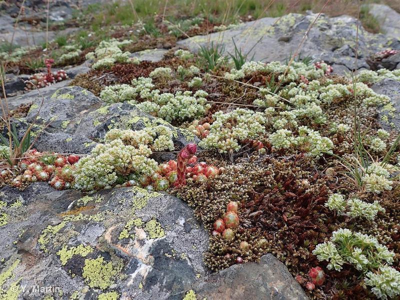 36.2 - Communautés des affleurements et rochers désagrégés alpins - CORINE biotopes